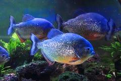 большие рыбы piranha Стоковое фото RF