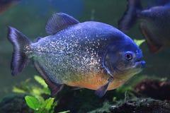большие рыбы piranha Стоковые Фотографии RF