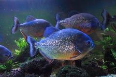 большие рыбы piranha Стоковые Изображения RF