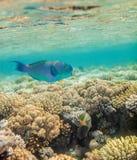 Большие рыбы scarus Стоковые Фотографии RF