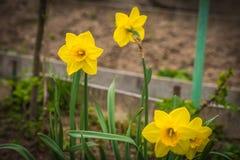Большие свежие желтые daffodils весны в саде около Москвы Стоковые Фотографии RF