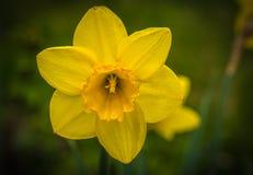 Большие свежие желтые daffodils весны в саде около Москвы Стоковые Изображения