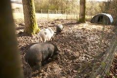 Большие свиньи в ручке свиньи Стоковые Изображения RF