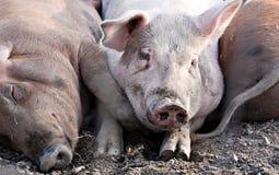 Большие свиньи кладя на том основании Стоковая Фотография