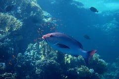 Большие серебряные рыбы в Египте стоковые фотографии rf