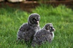 Большие серые owlets Стоковые Фото