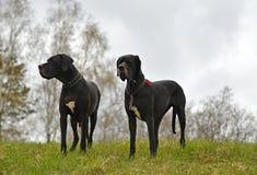 Большие собаки на луге Стоковая Фотография