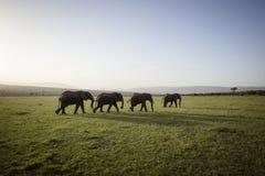 Большие слоны на заходе солнца Стоковая Фотография