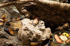 Большие тараканы Стоковые Изображения