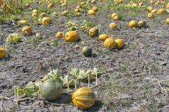 Большие тыквы в поле Стоковое фото RF