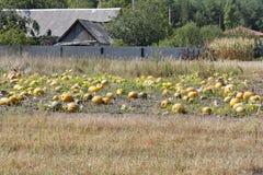 Большие тыквы в поле Стоковые Изображения