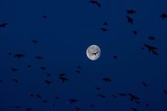 Большие луна и птицы в голубом небе Стоковые Фотографии RF