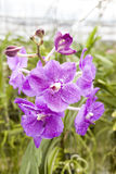 Большие фиолетовые орхидеи цветка красивейшие цветения закрывают вверх Цветок орхидеи на ветви в саде орхидей Таиланд Стоковое фото RF