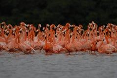 Большие фламингоы Стоковое Изображение