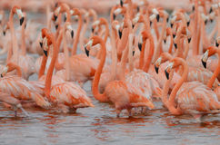 Большие фламингоы Стоковые Изображения
