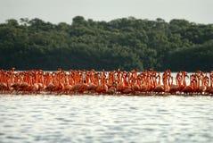 Большие фламингоы Стоковые Фото
