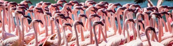 Большие фламинго группы на озере Кения вышесказанного Национальный парк Nakuru Национальный заповедник Bogoria озера стоковое изображение