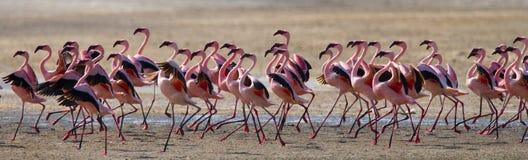 Большие фламинго группы на озере Кения вышесказанного Национальный парк Nakuru Национальный заповедник Bogoria озера стоковое фото rf