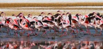Большие фламинго группы на озере Кения вышесказанного Национальный парк Nakuru Национальный заповедник Bogoria озера стоковые фотографии rf