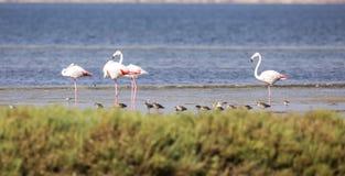 Большие фламинго и Dunlins Стоковая Фотография RF