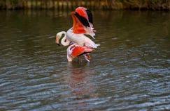 Большие фламинго сопрягая в Camargue, Франции Стоковое Изображение