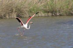 Большие фламинго Camargue Франции Стоковые Фотографии RF