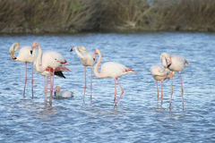 Большие фламинго Camargue Франции Стоковая Фотография RF