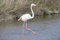 Большие фламинго Camargue Франции Стоковое Изображение RF
