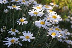 Большие цветки маргаритки стоковое изображение