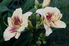 Большие цветки hemerocallis Стоковая Фотография