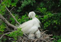 Большие цыпленоки egret в гнезде Стоковые Фото
