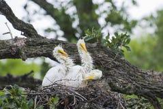 Большие цыпленоки Egret Стоковое Фото