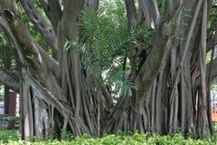 Большие широкие корни дерева стоковое фото rf