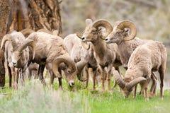 Большие штоссели овец рожка. Национальный парк Йеллоустона Стоковые Изображения RF