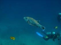 большие blowfish и водолаз стоковая фотография rf
