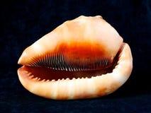 Большие cassidae seashell, конец вверх, одна раковина в черной темной предпосылке, тропическом tuberosa cassis, морском животном,  Стоковая Фотография RF