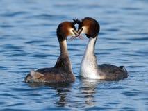 Большие crested поганковые ducks ухаживание стоковые изображения
