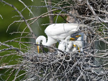 Большие Egret и цыпленоки стоковые фото