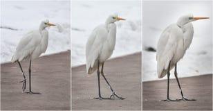 Большие egrets в ландшафте зимы Bubulcus ibis стоит на пляже Стоковые Фотографии RF