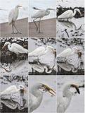 Большие egrets в ландшафте зимы Bubulcus ibis стоит на пляже Стоковое фото RF