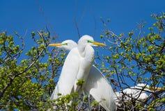 Большие Egrets в одичалом Стоковые Фотографии RF