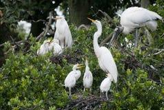 Большие Egrets и деревянный аист Стоковые Фотографии RF