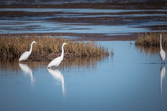 Большие egrets охотясь для еды Стоковые Изображения RF