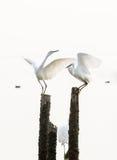 Большие egrets Стоковое Фото