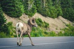 большие horned овцы Стоковое Изображение RF
