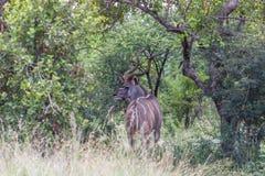 Большие kudu & x28; tragelaphus& x29; Стоковые Фото
