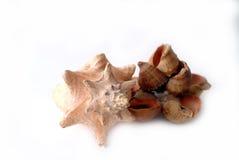 большие seashells Стоковое Изображение
