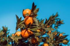 Большие tangerines на ветви с зелеными листьями Стоковые Изображения