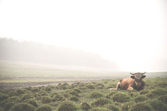 Большим туман arounded быком на острове Olkhon волынок Стоковое фото RF