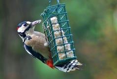 Большим Woodpecker запятнанный красным цветом Стоковые Изображения RF
